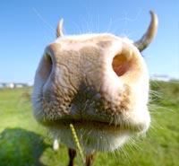 Vache noire tire la langue